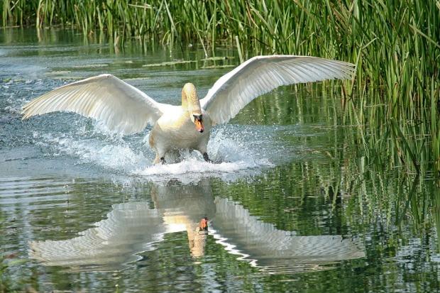 swan-1453192_960_720.jpg
